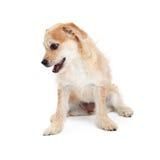 Perro desaliñado lindo de Terrier que mira la tierra Foto de archivo libre de regalías