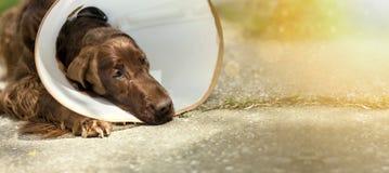 Perro después de la cirugía Foto de archivo libre de regalías