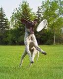 Perro después del frizbee Imagen de archivo libre de regalías