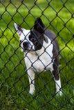 Perro detrás de la cerca Fotos de archivo libres de regalías