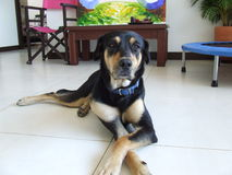 Perro dignificado Foto de archivo libre de regalías