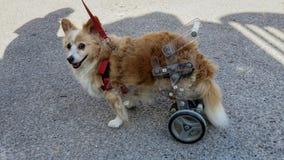 Perro discapacitado en un carro fotografía de archivo libre de regalías