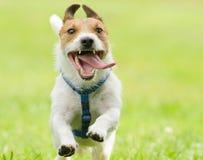 Perro divertido adorable que corre con la lengua de boca abierta Imagenes de archivo