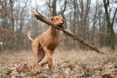 Perro divertido corriente del cazador con la rama grande Foto de archivo