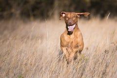 Perro divertido corriente del cazador en otoño Fotos de archivo