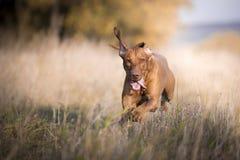 Perro divertido corriente del cazador en otoño Fotos de archivo libres de regalías