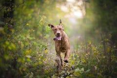 Perro divertido corriente del cazador en otoño Fotografía de archivo