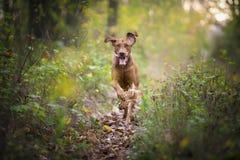 Perro divertido corriente del cazador en otoño Imágenes de archivo libres de regalías