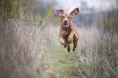Perro divertido corriente del cazador en otoño Foto de archivo