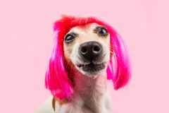 Perro divertido de imitación en peluca rosada foto de archivo libre de regalías