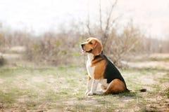Perro divertido del beagle Imagen de archivo
