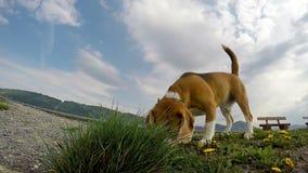 Perro divertido del beagle algo que huele en la hierba almacen de video