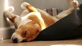 Perro divertido del beagle el dormir por tarde caliente almacen de metraje de vídeo