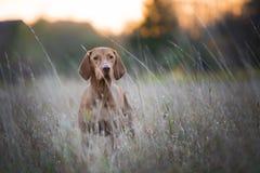 Perro divertido del cazador en otoño Imagenes de archivo