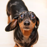 Perro divertido del dachshund Imagen de archivo