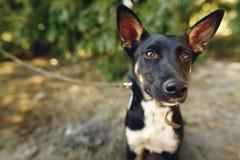 Perro divertido del refugio con los oídos grandes que presentan afuera en el PA soleado Fotos de archivo libres de regalías