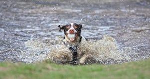 Perro divertido en agua Imagenes de archivo