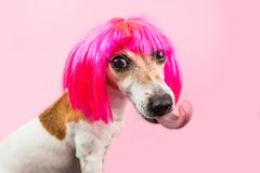 Perro divertido en peluca rosada con la lengua grande fotografía de archivo