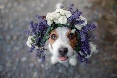 Perro divertido en una guirnalda de la flor Animal doméstico feliz Jack lindo Russell Terrier foto de archivo