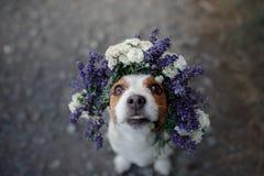 Perro divertido en una guirnalda de la flor Animal dom?stico feliz Jack lindo Russell Terrier fotografía de archivo libre de regalías