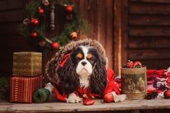 Perro divertido lindo que celebra la Navidad y el Año Nuevo con las decoraciones y los regalos Foto de archivo libre de regalías