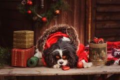 Perro divertido lindo que celebra la Navidad y el Año Nuevo con las decoraciones y los regalos Foto de archivo