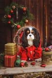 Perro divertido lindo que celebra la Navidad y el Año Nuevo con las decoraciones y los regalos Año chino del perro Imagen de archivo