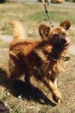 Perro divertido positivo de Brown del refugio con la mirada asombrosa que plantea o Imagen de archivo