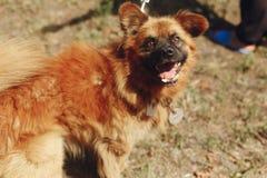 Perro divertido positivo de Brown del refugio con la mirada asombrosa que plantea o Fotografía de archivo libre de regalías