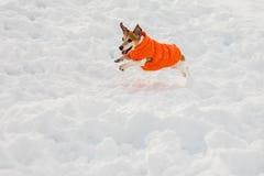 Perro divertido que corre en capa del oranfe Fotografía de archivo libre de regalías
