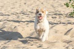Perro divertido que corre a la cámara en la playa arenosa Fotografía de archivo libre de regalías