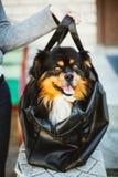 Perro divertido que se sienta en Carry Bag Imagen de archivo
