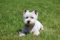 perro doméstico Imagen de archivo libre de regalías