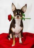 Perro dulce con la rosa del rojo Imagenes de archivo