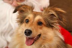 Perro durante la Navidad Imágenes de archivo libres de regalías