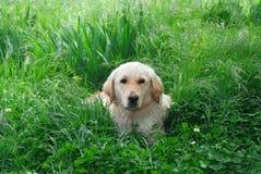 Perro e hierba verde Fotografía de archivo