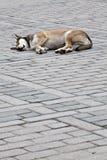 Perro el dormir Imágenes de archivo libres de regalías