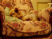 Perro el dormir Fotos de archivo