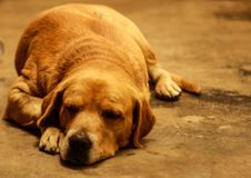 Perro el dormir en el piso Foto de archivo libre de regalías