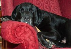 Perro el dormir en silla Foto de archivo libre de regalías