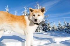 Perro el invierno que camina en montañas imagen de archivo