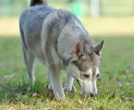Perro el oler Foto de archivo libre de regalías