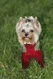 Perro, el terrier Fotos de archivo