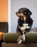 Perro elegante Imagen de archivo