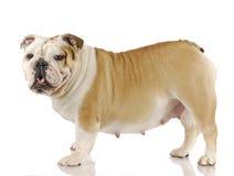 Perro embarazado Imagenes de archivo