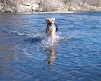 Perro en agua Imagen de archivo libre de regalías