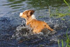 Perro en agua Imagen de archivo