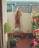 Perro en balcón Fotos de archivo
