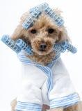 Perro en bigudíes azules foto de archivo libre de regalías