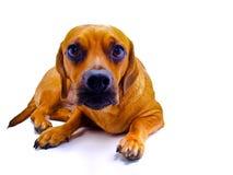Perro en blanco imagenes de archivo